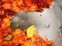 下落的山毛榉叶子和石头在山河中水  秋天颜色 符号 库存图片