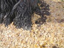 下落的干叶子在一棵老树下 免版税库存图片