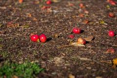 下落的新鲜的红色苹果 库存照片