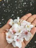 下落的日本樱花花 库存图片