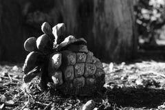 下落的杉木菠萝 库存图片