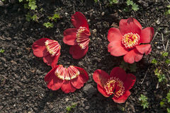 下落的杜鹃花在地面上开花在皇家植物园在伦敦 库存照片