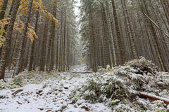 下落的树在一个多雪的森林里 免版税图库摄影