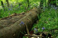 下落的树在有会开蓝色钟形花的草的森林 库存照片