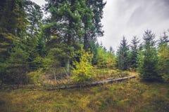 下落的树在杉木森林里 库存照片