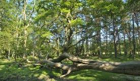 下落的树在森林沼地 库存照片