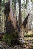 下落的树在森林里经常,在早期的春天 库存图片