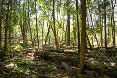 下落的树在森林 免版税库存照片