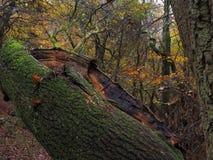 下落的树在秋天森林地英国英国 库存照片