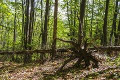 下落的树根  免版税图库摄影