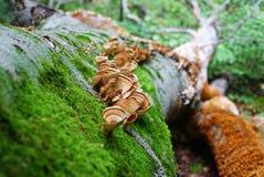 下落的树特写镜头和一个小组与褐色和黄色波浪的蘑菇 青苔和真菌特写镜头 免版税库存照片