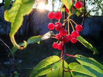 下落的树莓果 免版税库存图片