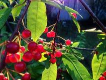 下落的树莓果 库存图片