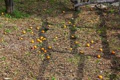 下落的桔子和叶子在地面上 免版税库存照片