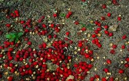 下落的棕榈莓果 免版税图库摄影