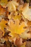 下落的槭树叶子毯子  库存照片