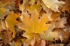 下落的槭树叶子毯子  免版税库存图片