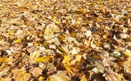 下落的槭树叶子 免版税库存照片