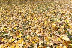 下落的槭树叶子 免版税图库摄影