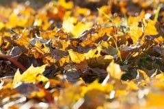 下落的槭树叶子 库存照片