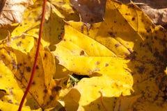 下落的槭树叶子 图库摄影