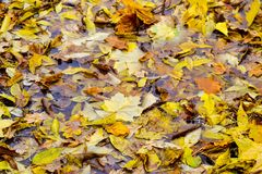 下落的槭树和橡木叶子在水坑在 雨,秋天,黄色在水的表面离开 多雨天气 免版税图库摄影