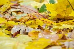 下落的槭树和橡木叶子在水坑在 雨,秋天,黄色在水的表面离开 多雨天气 免版税库存图片