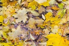 下落的槭树和橡木叶子在水坑在 雨,秋天,黄色在水的表面离开 多雨天气 库存照片