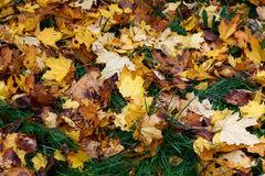 下落的槭树在草在秋天离开 免版税图库摄影