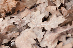 下落的橡木叶子,宏观照片 免版税库存照片