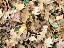 下落的橡木的顶视图留下特写镜头 库存图片