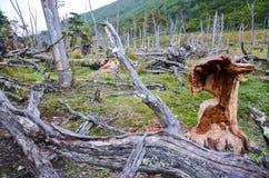 下落的海狸做的树和损伤在Dientes de Navarino, Isla Navarino,智利 免版税库存照片