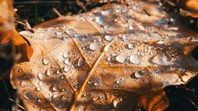下落的秋天在哪些离开是早晨露水许多美好的下落  在美好的秋叶宏指令关闭的露水 股票视频