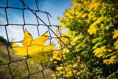 下落的秋天槭树叶子风行生锈的铁丝网篱芭 免版税库存照片