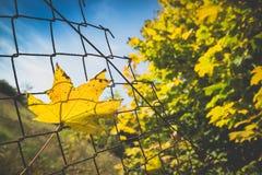 下落的秋天槭树叶子风行生锈的铁丝网篱芭 免版税库存图片
