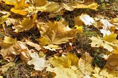 下落的秋天槭树叶子 免版税库存图片