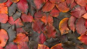 下落的秋天红黑叶子 影视素材