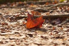 下落的红槭叶子在国家公园 免版税库存图片
