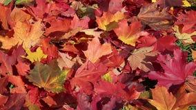 下落的红色秋天槭树在刮风的天气离开 股票录像
