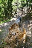 下落的腐烂的杉树树干  免版税库存照片