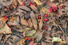 下落的花楸浆果和叶子在岩石在秋天 免版税库存照片