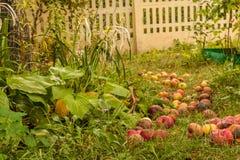 下落的苹果在庭院里在秋天 库存照片