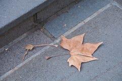 下落的褐色烘干了在一个石地板上的枫叶 免版税图库摄影