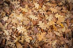 下落的赤栎叶子 黄色 browne 红色 库存照片