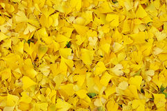 下落的银杏树biloba叶子在秋天 免版税库存照片