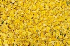 下落的银杏树biloba叶子在秋天 免版税库存图片