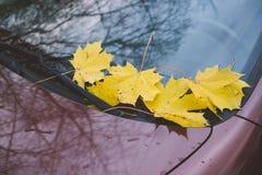 下落的黄色槭树在汽车的挡风玻璃离开 库存照片