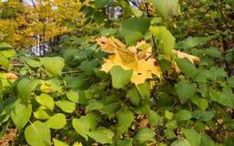 下落的黄色槭树在绿色淡紫色灌木离开 库存图片