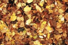 下落的黄色叶子的纹理 免版税库存照片
