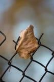 下落的黄色秋天菩提树limetree叶子生锈的铁丝网 库存图片